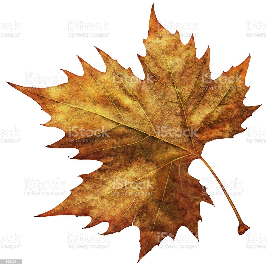 High Resolution Isolated Autumn Dry Maple Leaf royalty-free stock photo