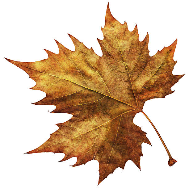 High Resolution Isolated Autumn Dry Maple Leaf stock photo