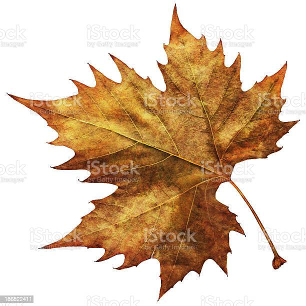 This Large, High Resolution Scanned Image of Autumn Dry Maple Leaf, isolated on White Background and equipped with precise Clipping Path, represents the excellent choice for implementation in various CG design projects.