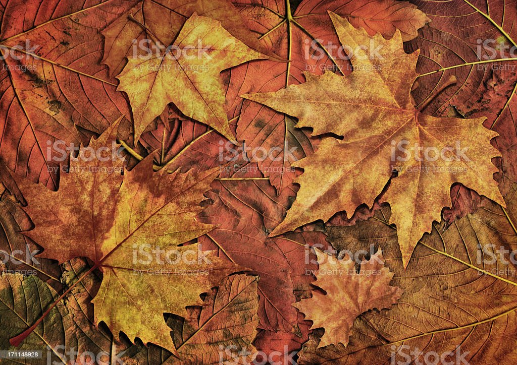 High Resolution Isolated Maple Dry Leaves On Autumn Foliage Background royalty-free stock photo