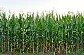 High stems of green corn in the field