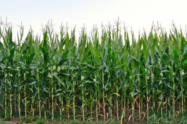 田間綠玉米高莖 - 粟米 個照片及圖片檔