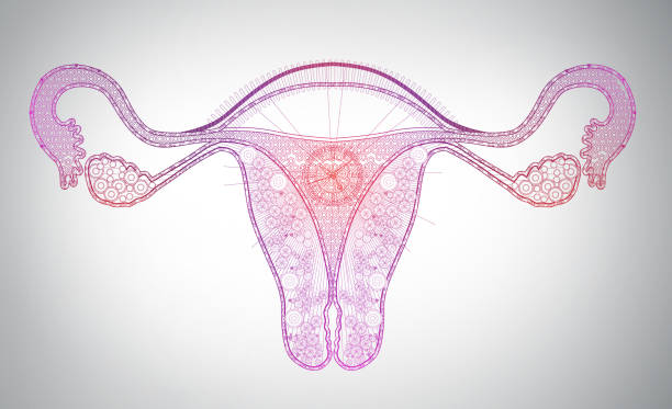 high tech lione art of female reproductive system, time, monthly cycle - uterus stock pictures, royalty-free photos & images