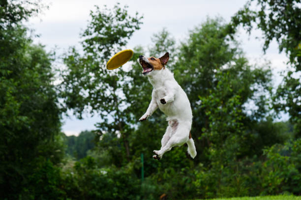 High trick jump of dog catching flying disc picture id649976110?b=1&k=6&m=649976110&s=612x612&w=0&h=vsribmk  sufjqqig3ion4kacm xkggxdrfk n1 hw0=