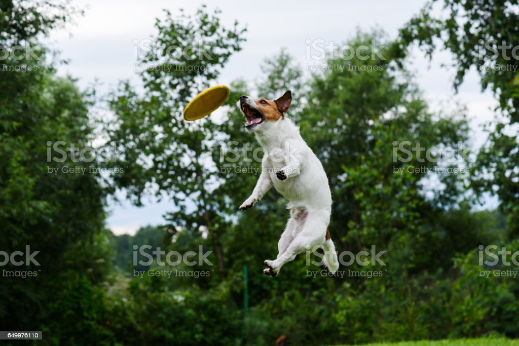 High trick jump of dog catching flying disc stock photo