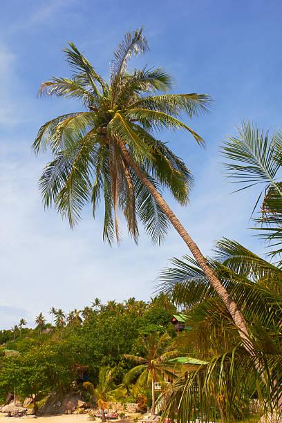 High tropical coconut palm on sunny beach and blue sky stock photo