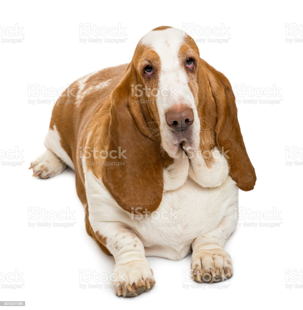 High View Of A Basset Hound Looking At The Camera Isolated On White ...