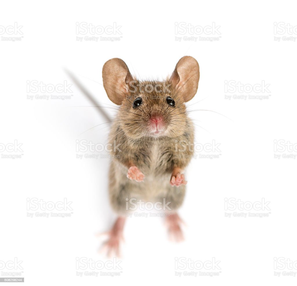 High view of a Wood mouse looking stock photo