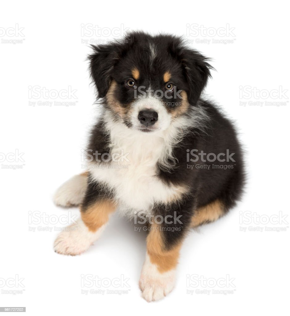 High view of an Australian Shepherd puppy, 2 months old, sitting and looking at camera against white background stock photo
