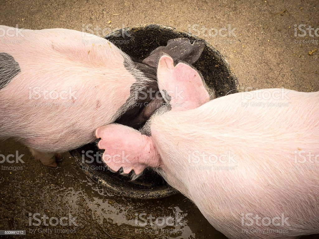 High-Angle View of Two Piglets stock photo
