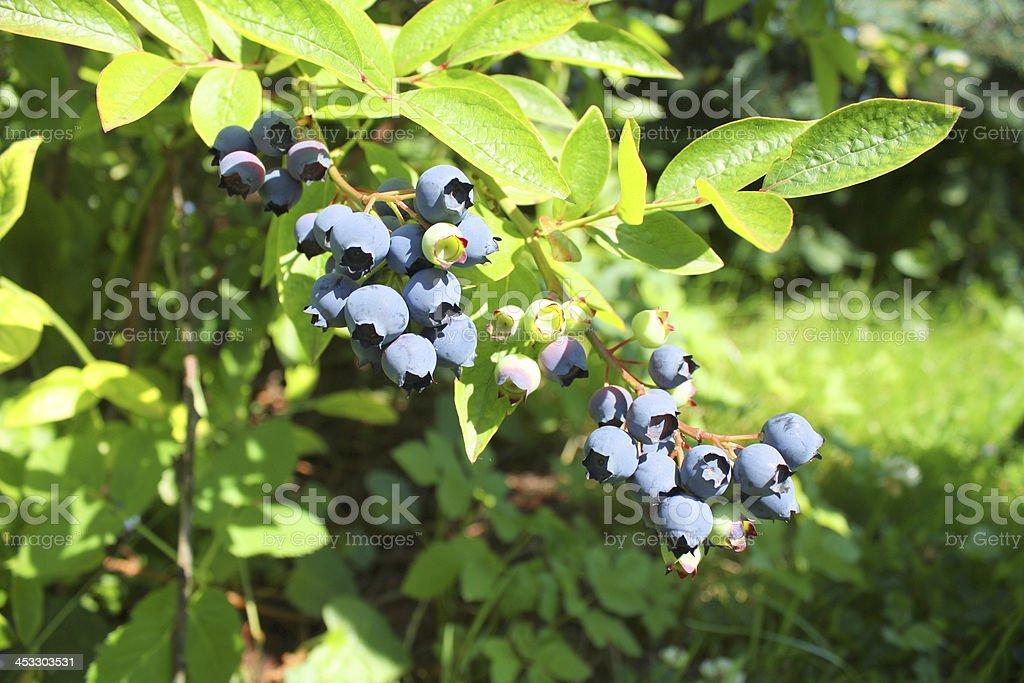 Highbush blueberry plant stock photo