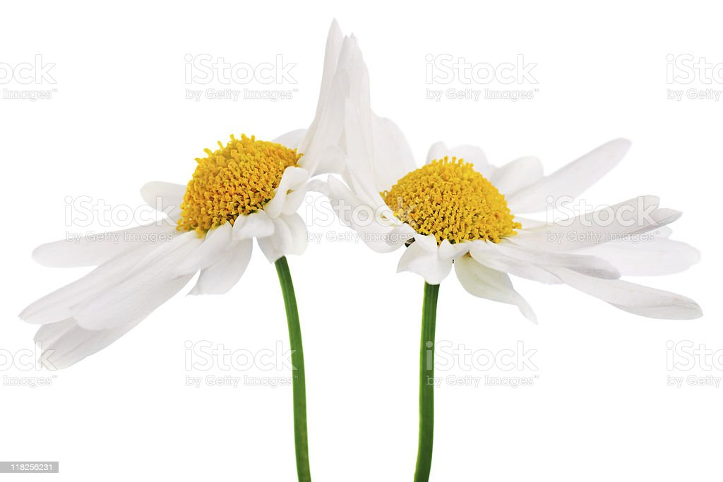 High-five daisies royalty-free stock photo