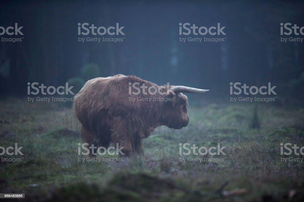 Taureau Highland dans prés de la Forêt brumeuse - Photo