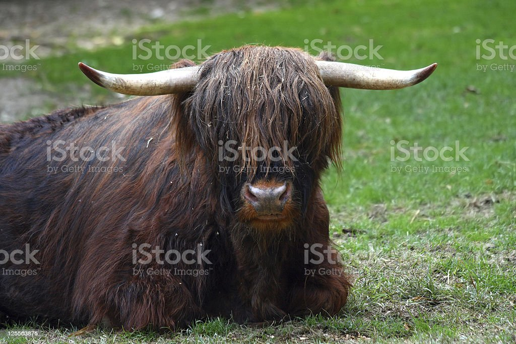 Highland Bull - Photo
