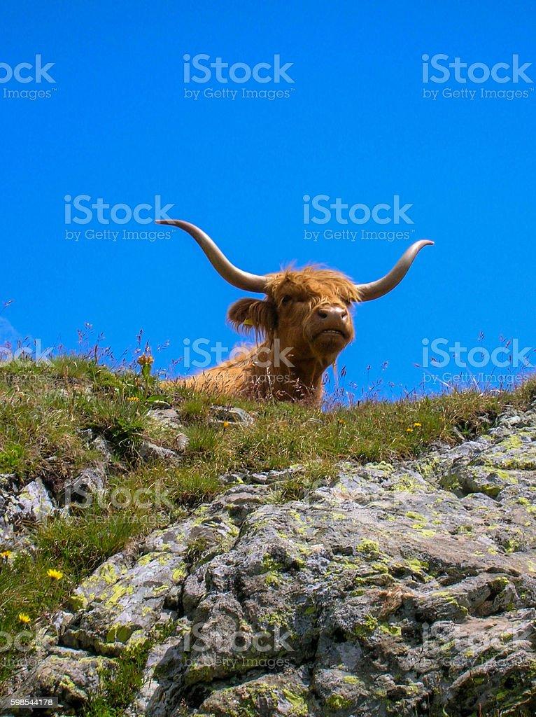 highland bull photo libre de droits