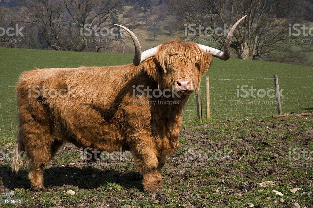 Highland bull zbiór zdjęć royalty-free