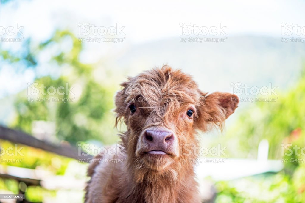 Highland Calf on farm stock photo