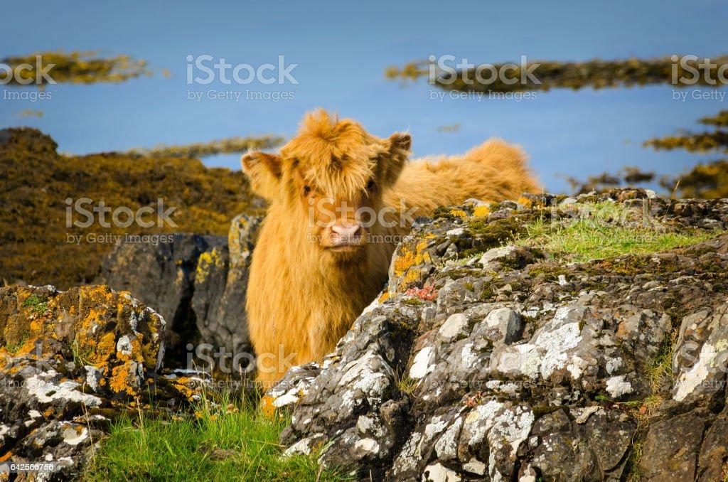 Highland veau - Photo