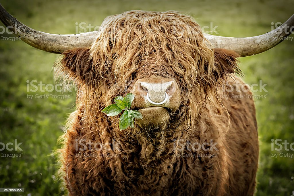 Highland cattle bull chewing leaves – Foto