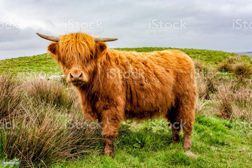 Vache des Highlands veau - Photo
