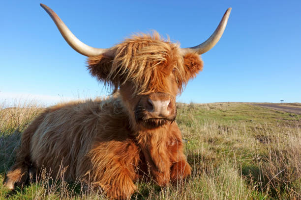 highland cattle chewing cud near thurso - cud stock pictures, royalty-free photos & images