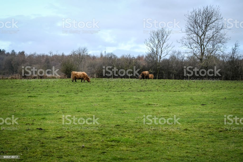 Highland cattle graze on the open meadow, Huddesfield, West Yorkshire, England stock photo