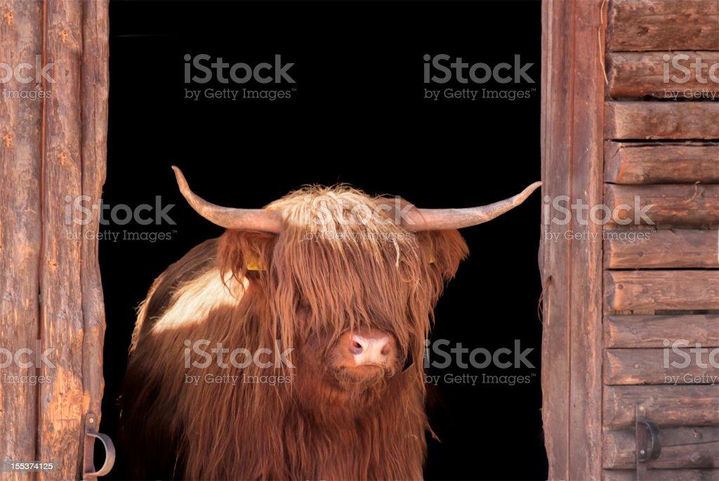 Vache des Highlands dans Porte de grange - Photo