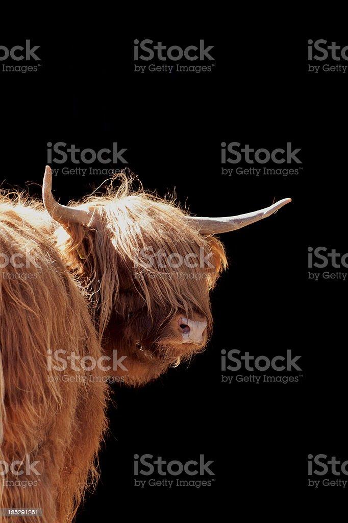 Vache des Highlands devant noir - Photo