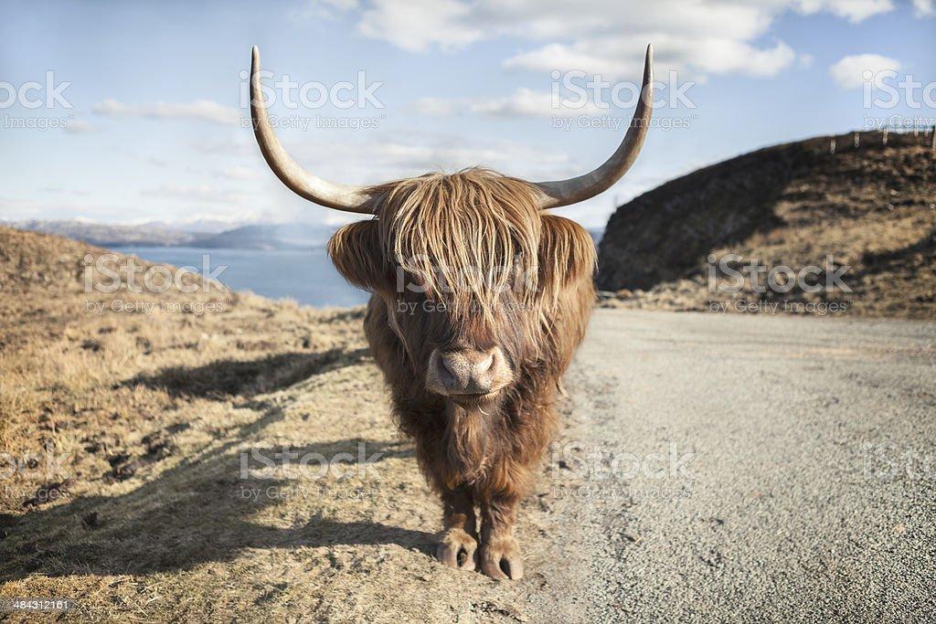 Vache des Highlands dans le sud de l