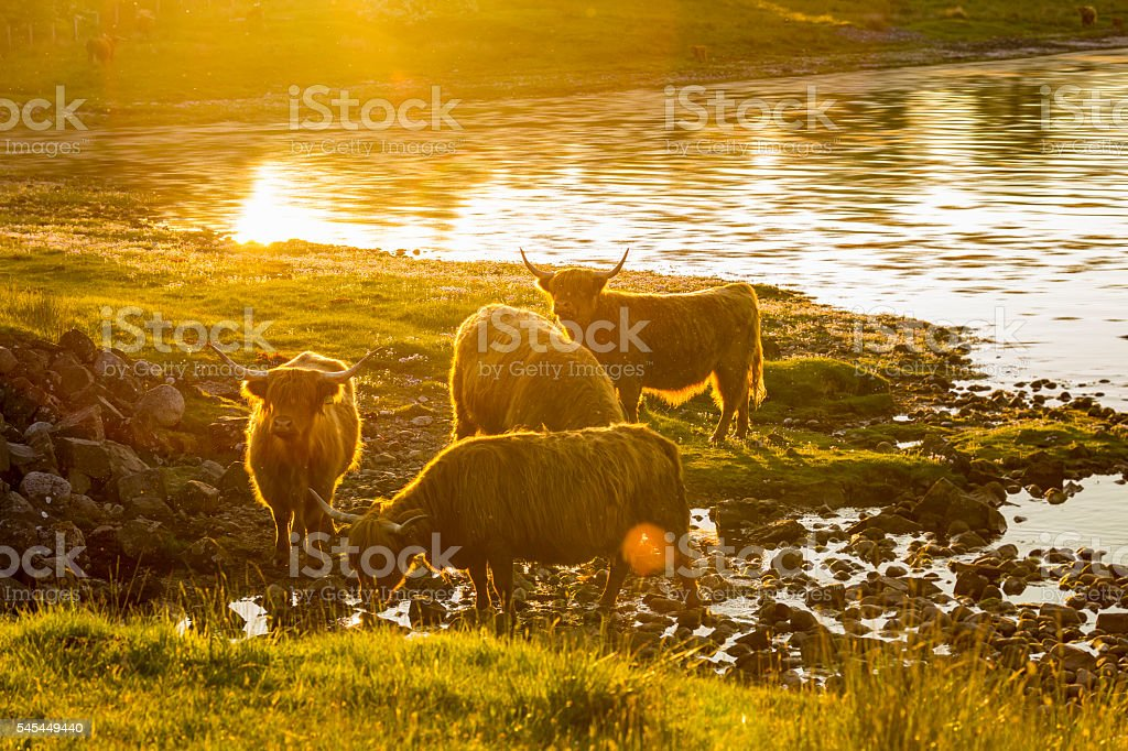 Highland Cattle in the evening twilight - Photo