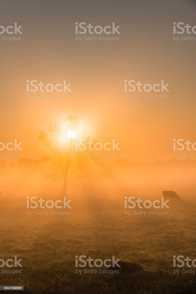 Highland cattle in the fog of sunrise on meadow. stock photo