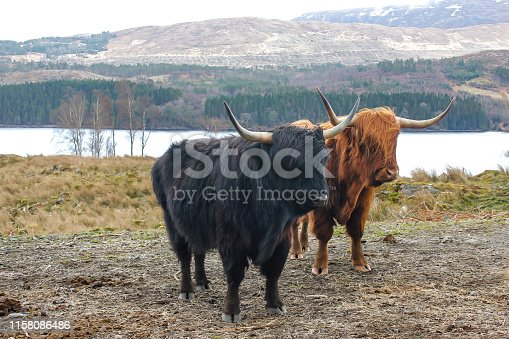Close up of highland cattle in the wild nature