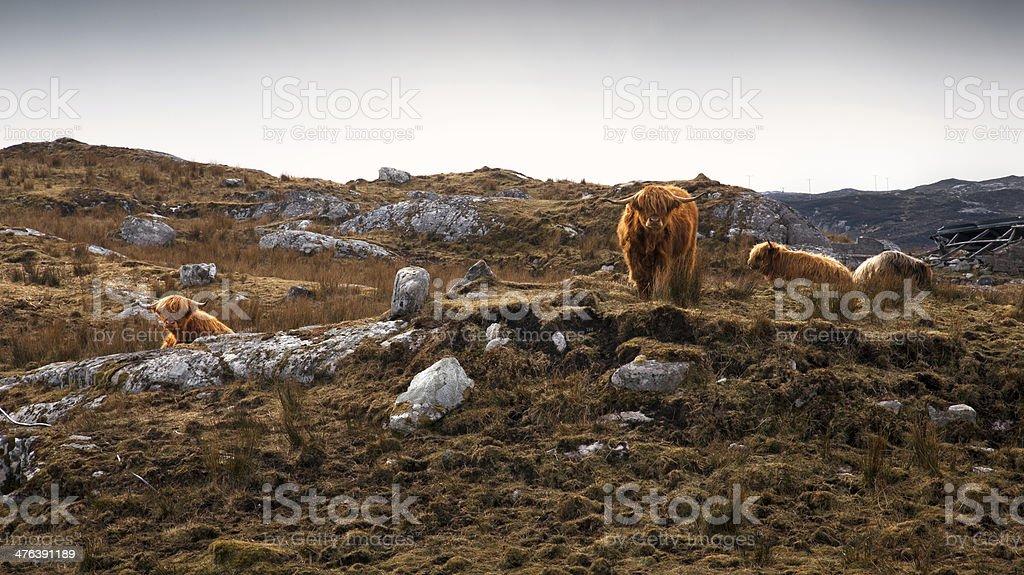 Highland Cattle - Isle of Harris stock photo