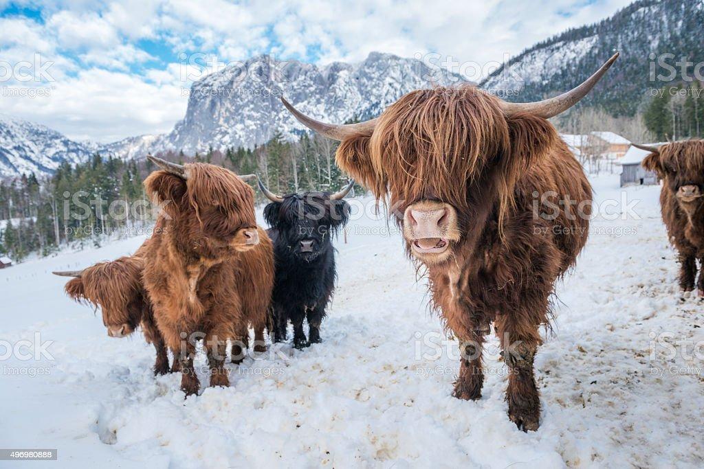 Highland Cattle Kyloe Schottische Hochlandrind In The Snow ... - photo#16