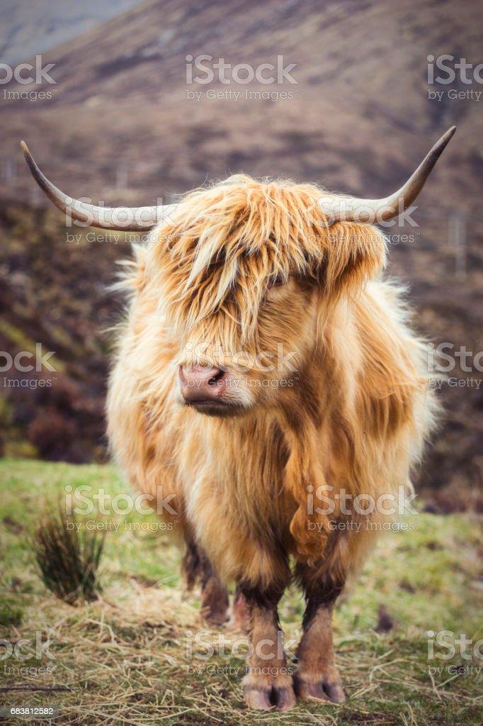 Highland Cattle, Landscapes & Vistas on the Isle of Skye - Photo