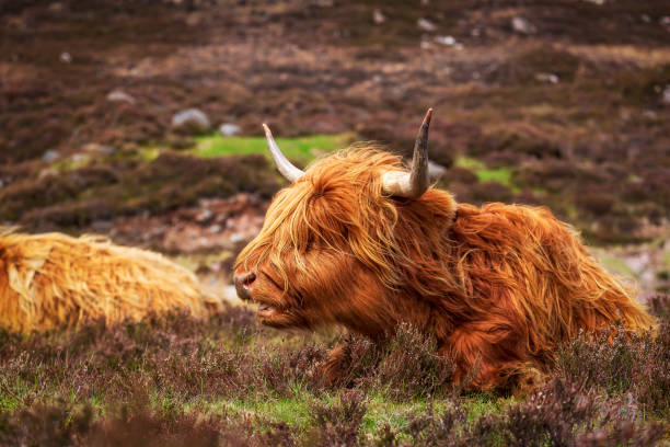 Highland cattle near Applecross Highland cattle on the Applecross peninsula north coast 500 stock pictures, royalty-free photos & images