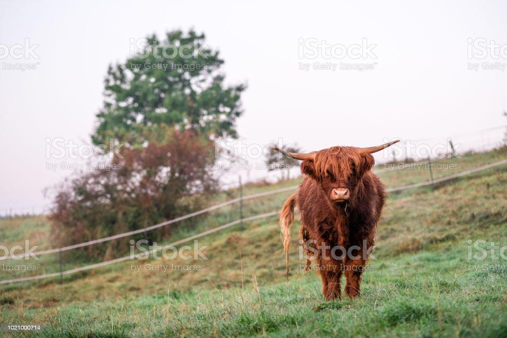 Highland cattle dans les pâturages - Photo