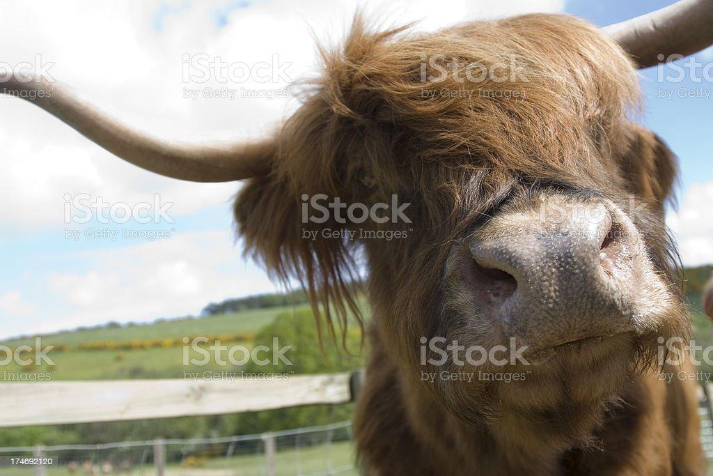 Highland Cattle royalty-free stock photo