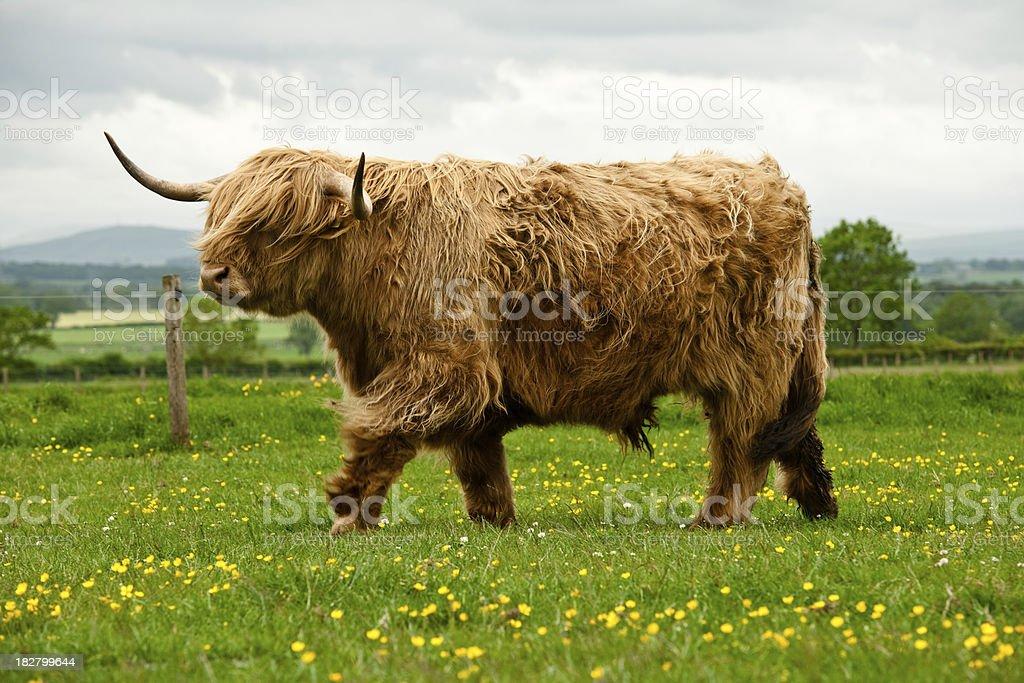 Vache des Highlands - Photo