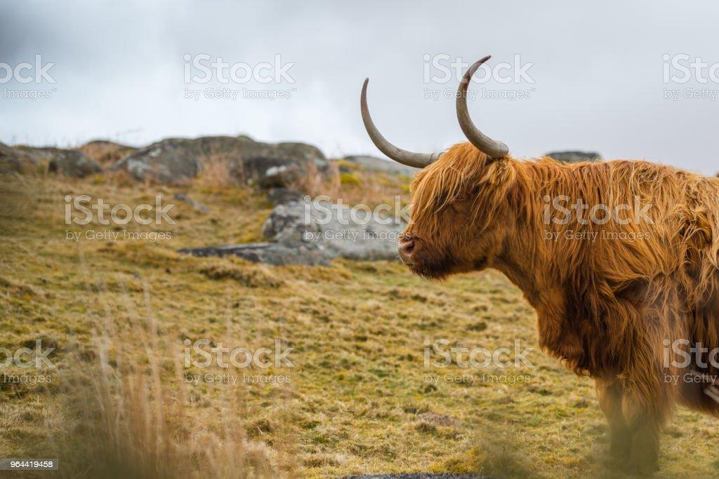 Gado da Escócia  - Foto de stock de Agricultura royalty-free