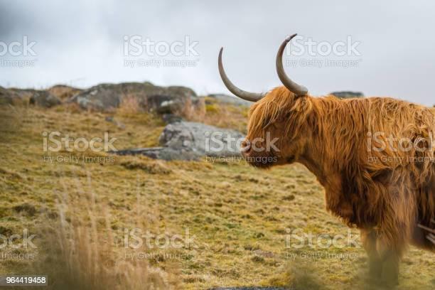 Foto de Gado Da Escócia e mais fotos de stock de Agricultura