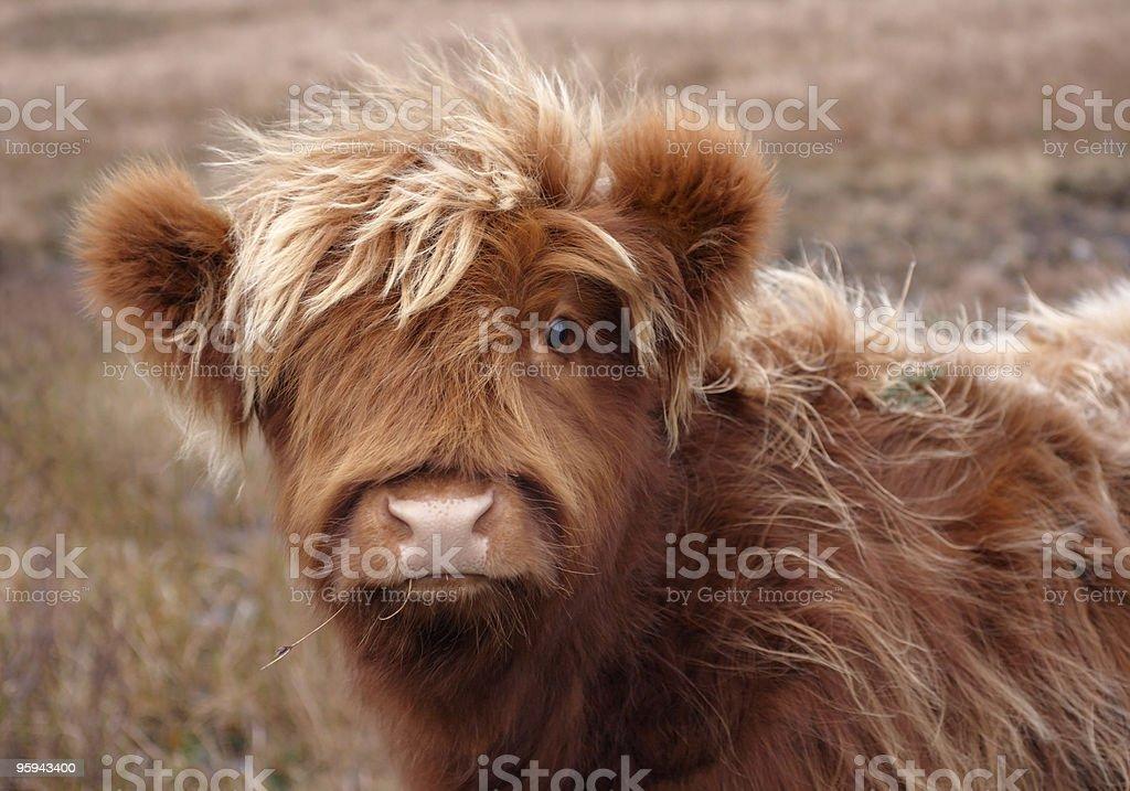 Vache des Highlands portrait - Photo