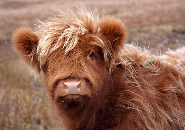 Highland cattle portrait stock photo