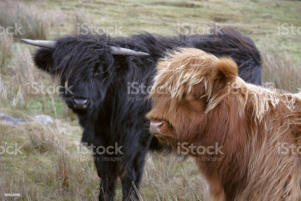 Highland cattle scenery royalty-free stock photo