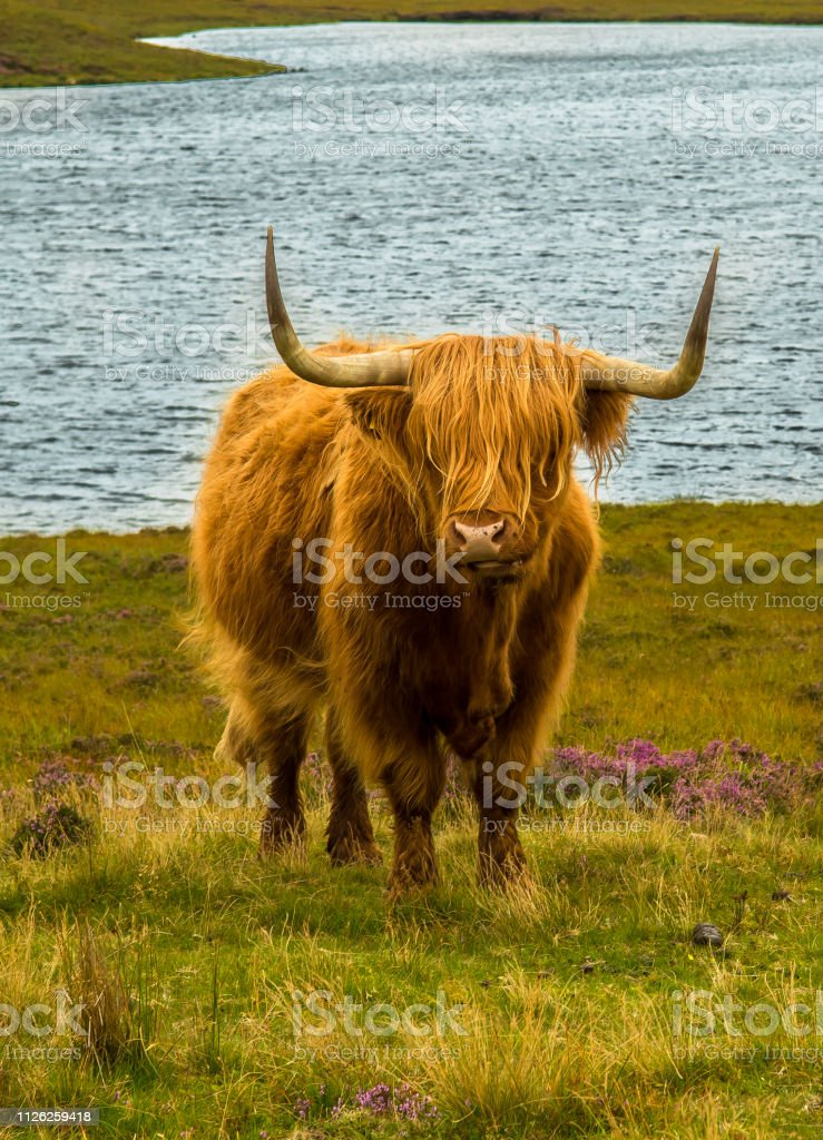 Highland Cattle With Long Horns In Scenic Landscape With Lake In Scotland stock photo