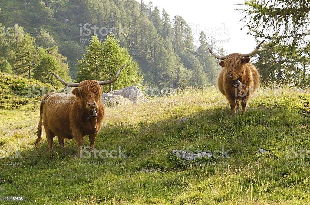 highland cattles royalty-free stock photo
