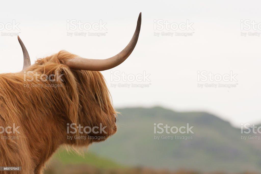 highland cow admiring the scottish countryside stock photo