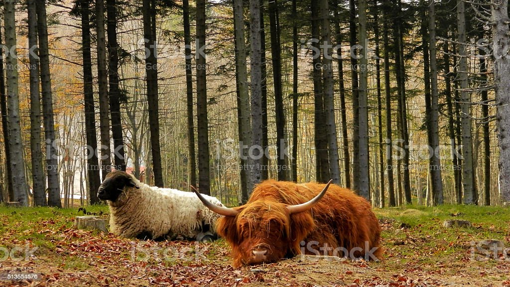 Highland cow and scottish blackface sheep resting in the woods. stock photo