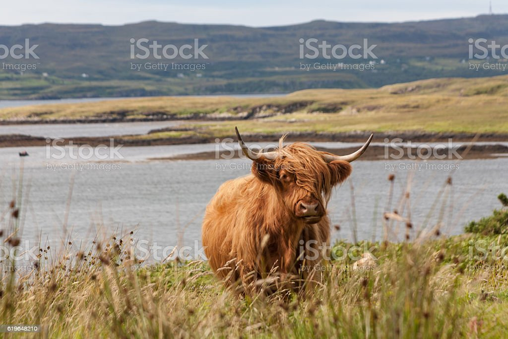 Highland Cow at Dunvegan on the Isle of Skye, Scotland stock photo