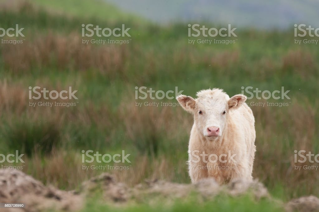 highland cow calf looking over the hill stock photo